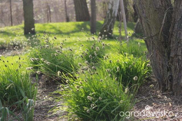 Nazwa:  sesleria ehuflera (od Magnolii).jpg Wyświetleń: 88 Rozmiar:  57,4 KB
